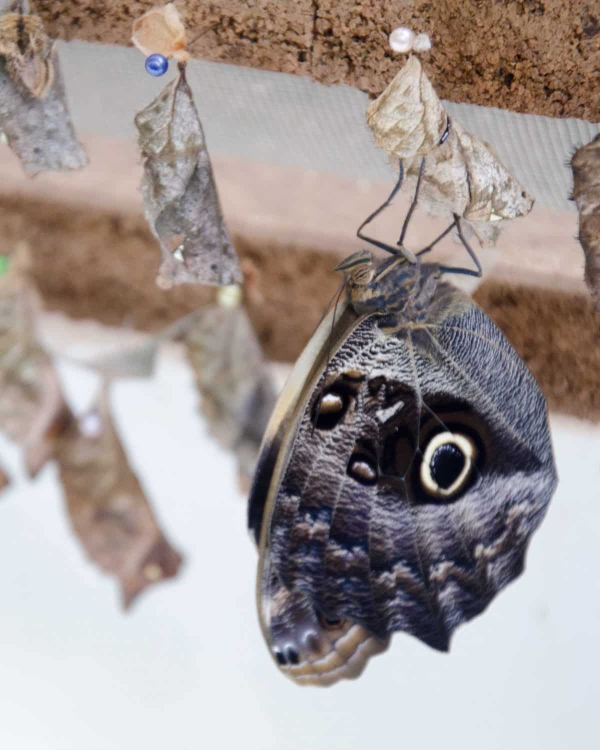 A newly emerged butterfly at the Mariposario (butterfly farm), Mindo, Ecuador | © Angela Drake