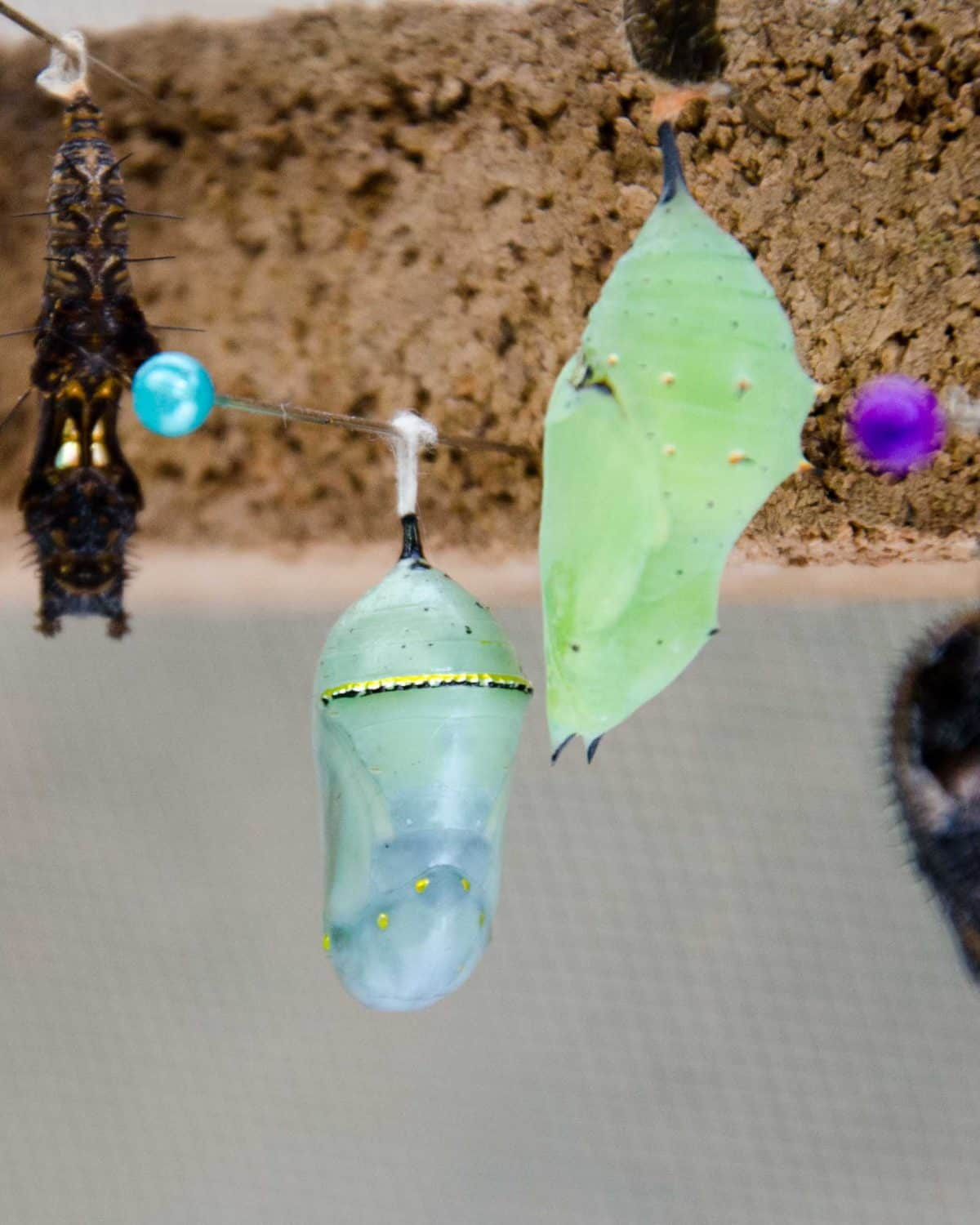Jewel-like butterfly cocoons at the Mariposario (butterfly farm), Mindo, Ecuador | © Angela Drake