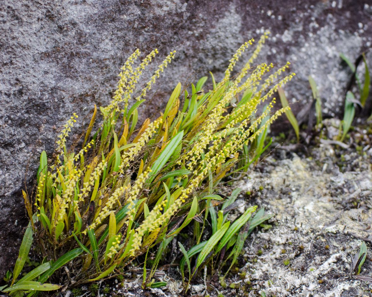 Orchids from the Yanacocha Reserve, Rocky mountain face; August 2014 | ©Angela Drake