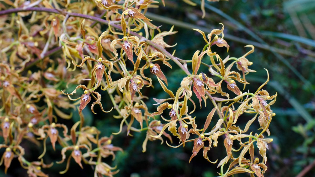 Orchids from the Yanacocha Reserve, November 2015 | ©Angela Drake