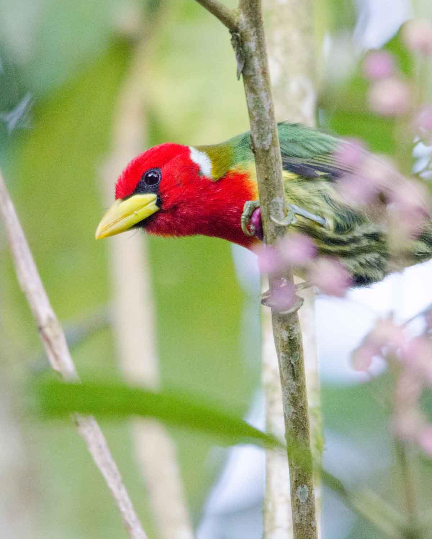 A Red-headed Barbet seen at the Ecolodge San Jorge de Tandayapa | ©Angela Drake