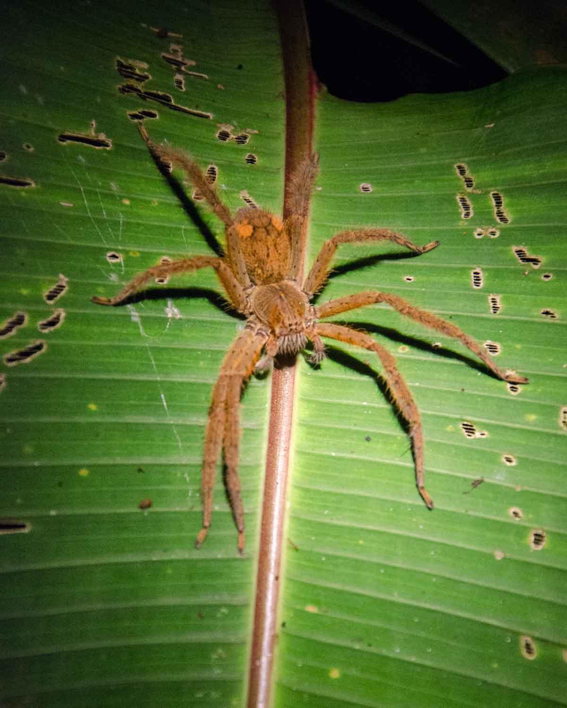 A unidentified tarantula spider seen at the Ecolodge San Jorge de Milpe | ©Angela Drake