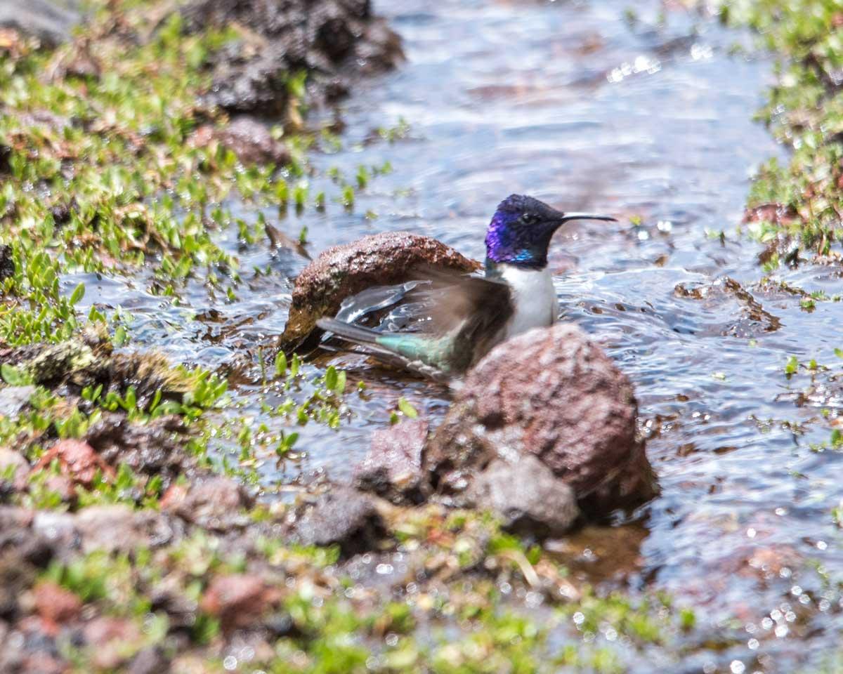 Star of Chimborazo hummingbird wading in the stream, Chimborazo Wildlife Preserve, Ecuador | ©Angela Drake