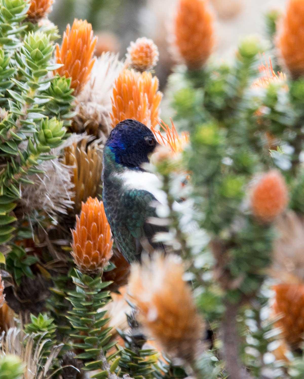 Star of Chimborazo hummingbird lost in the chuquiragua, Chimborazo Wildlife Preserve, Ecuador | ©Angela Drake