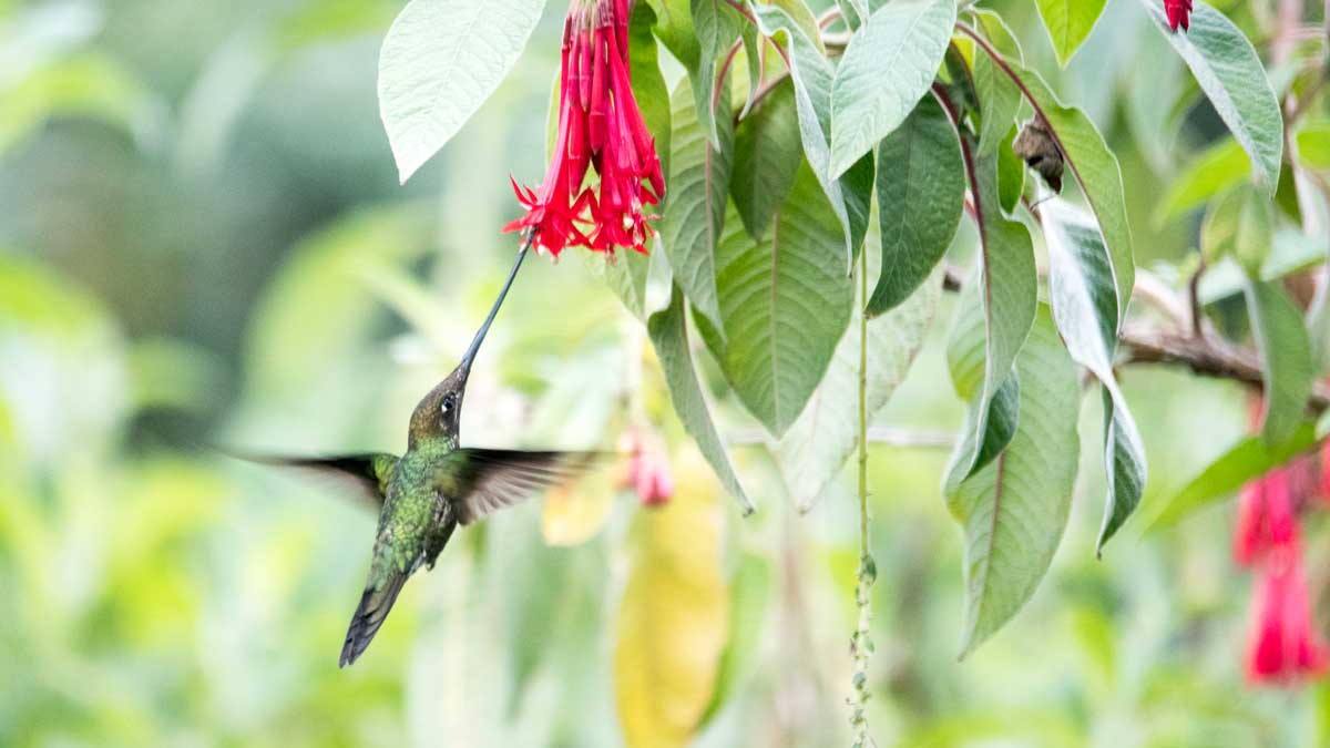 Swordbilled Hummingbird, Quito Botanical Garden, Ecuador | ©Angela Drake