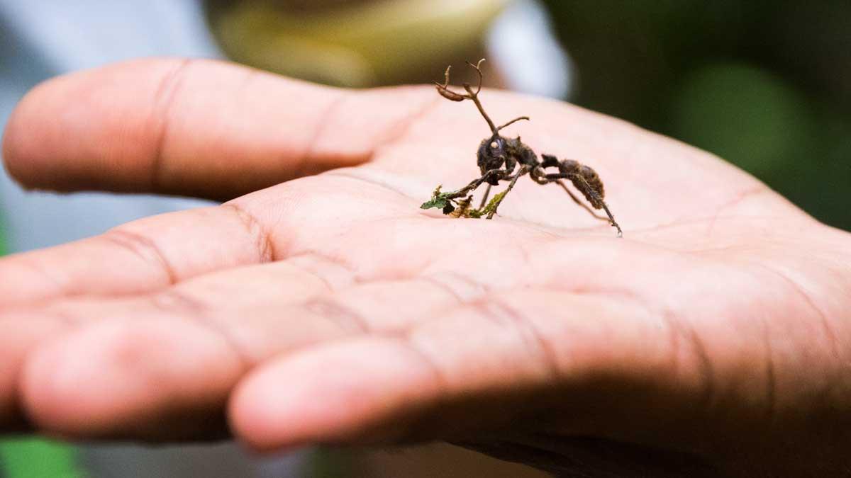 Ant Attacked by Zombie Fungus; Dracaena Lodge, Cuyabeno, Ecuador | ©Angela Drake