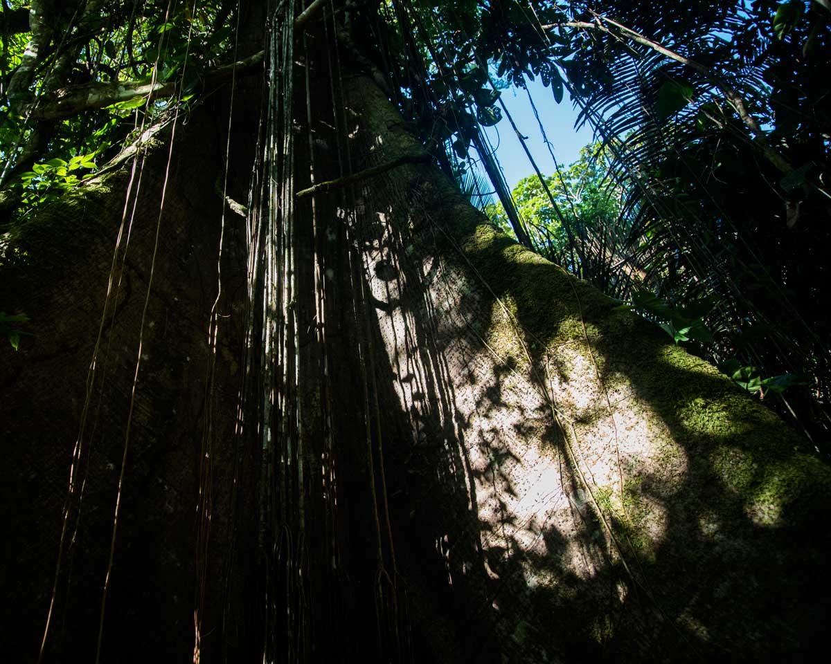 Foot of a Ceibo Tree; Dracaena Lodge, Cuyabeno, Ecuador | ©Angela Drake