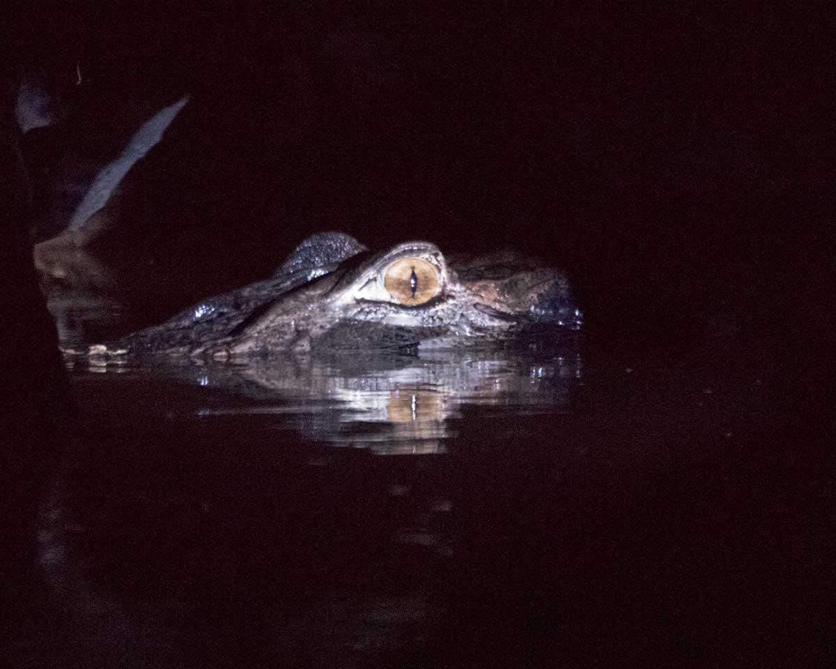 Caiman at Night, Laguna Grande, Cuyabeno Wildlife Reserve, Ecuador | ©Angela Drake