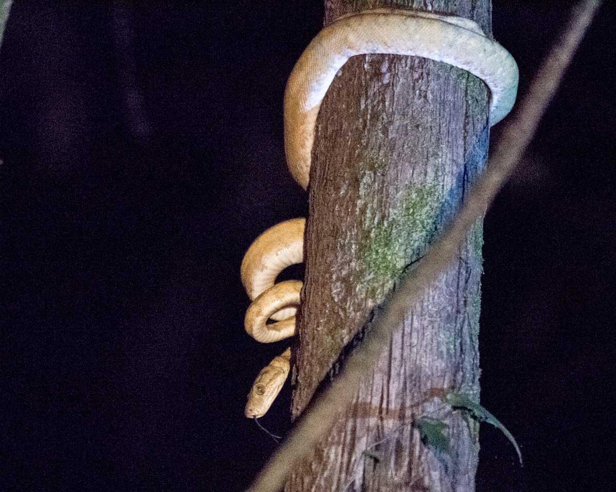 Unidentified Boa at Night, Laguna Grande, Cuyabeno Wildlife Reserve, Ecuador | ©Angela Drake