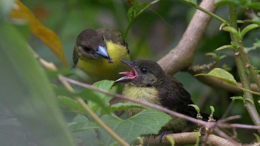 Yellow-rumped Tanager Feeding Chick, Bicok Ecolodge Mindo, Ecuador | ©Nicolaj Ullmann