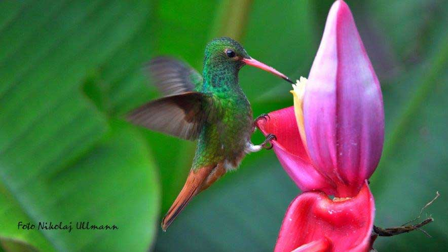 Rufous-tailed Hummingbird, La Bikok Ecolodge, Mindo, Ecuador | ©Nicolaj Ullmann