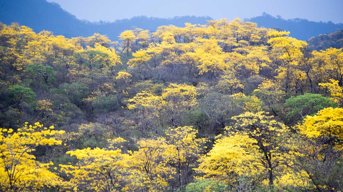 A Forest of Guayacanes; Mangahurco, Ecuador   ©Angela Drake
