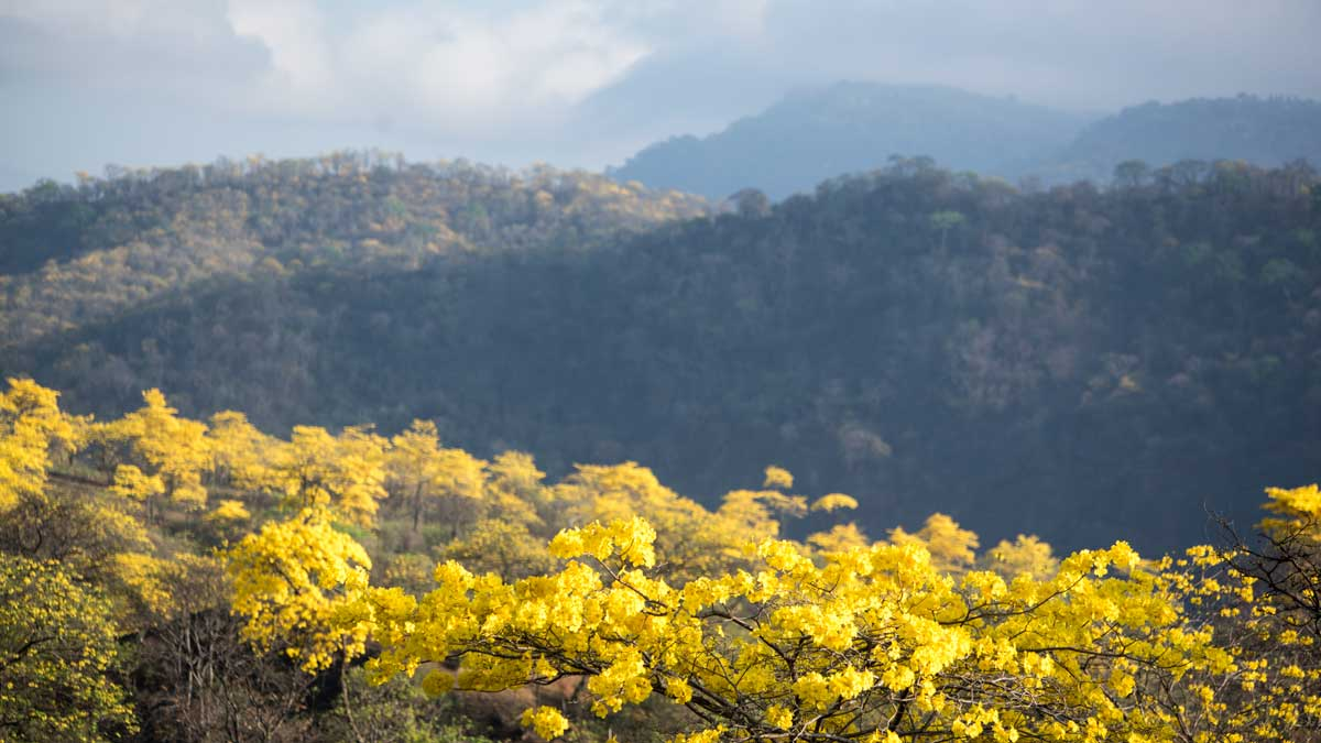 Guayacanes and Dry Forest; Mangahurco, Ecuador | ©Angela Drake