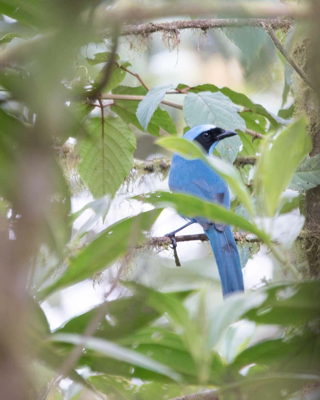 A Turquoise Jay, Birdwatcher's House, Santa Rosa de Mindo, Ecuador | ©Angela Drake