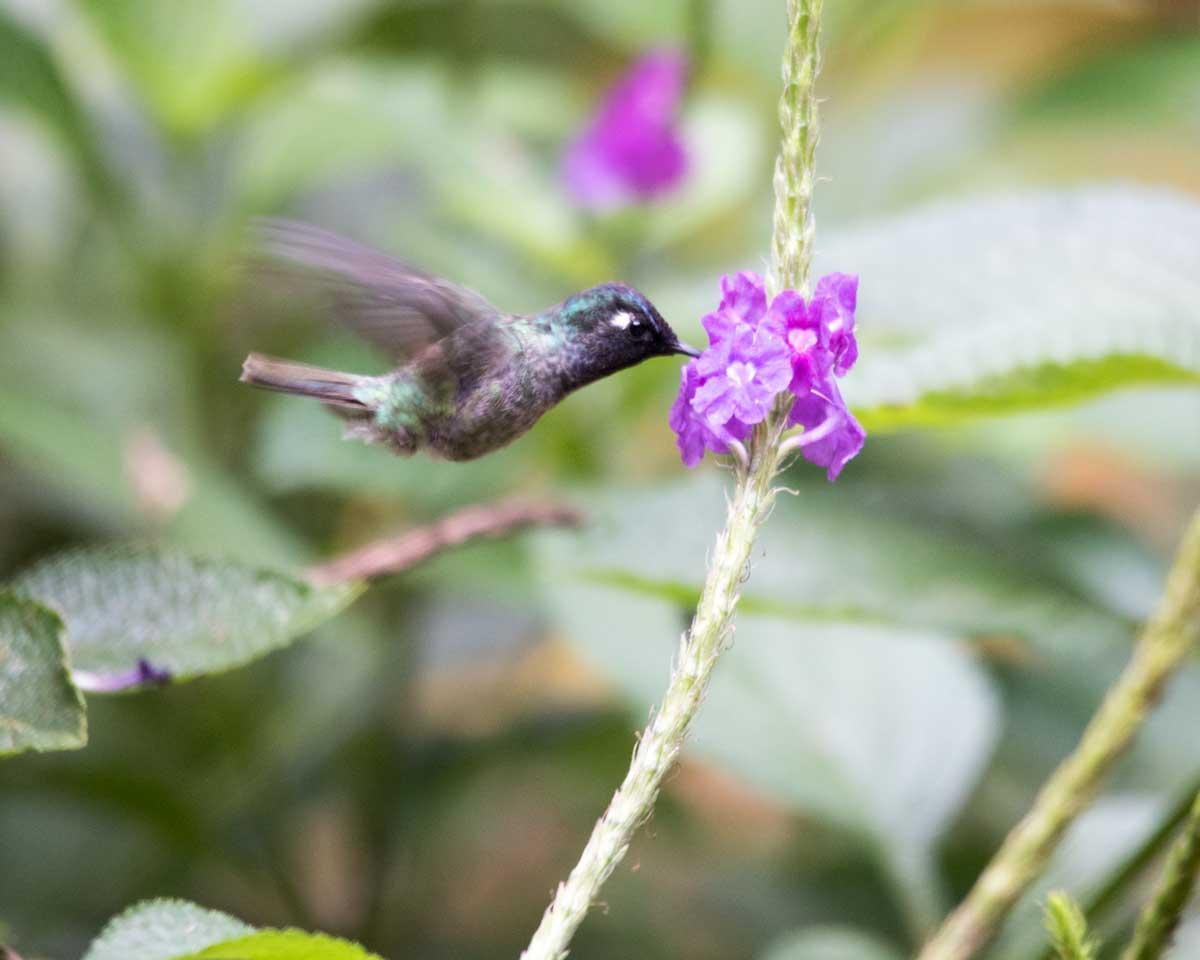 Violet-headed Hummingbird, Copalinga, Ecuador | ©Angela Drake