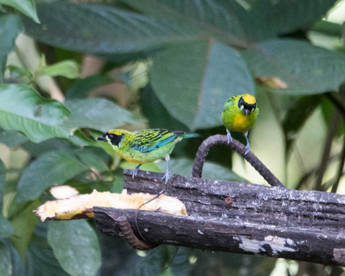Green and Gold Tanager, Copalinga, Ecuador | ©Angela Drake