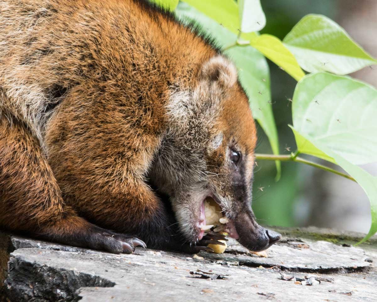 Ring-tailed Coati, Copalinga, Ecuador | ©Angela Drake