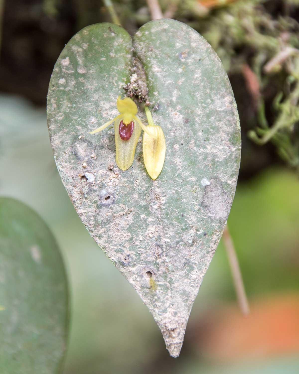 Orchid, Copalinga, Ecuador | ©Angela Drake