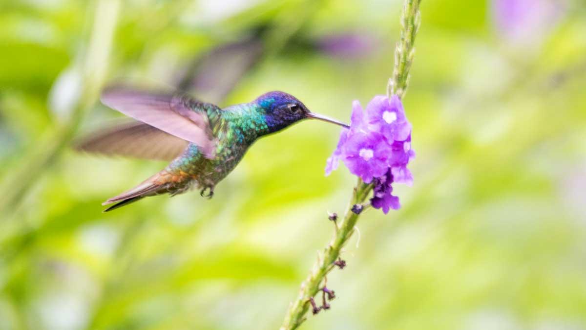 Golden-tailed Sapphire hummingbird, Copalinga, Ecuador | ©Angela Drake
