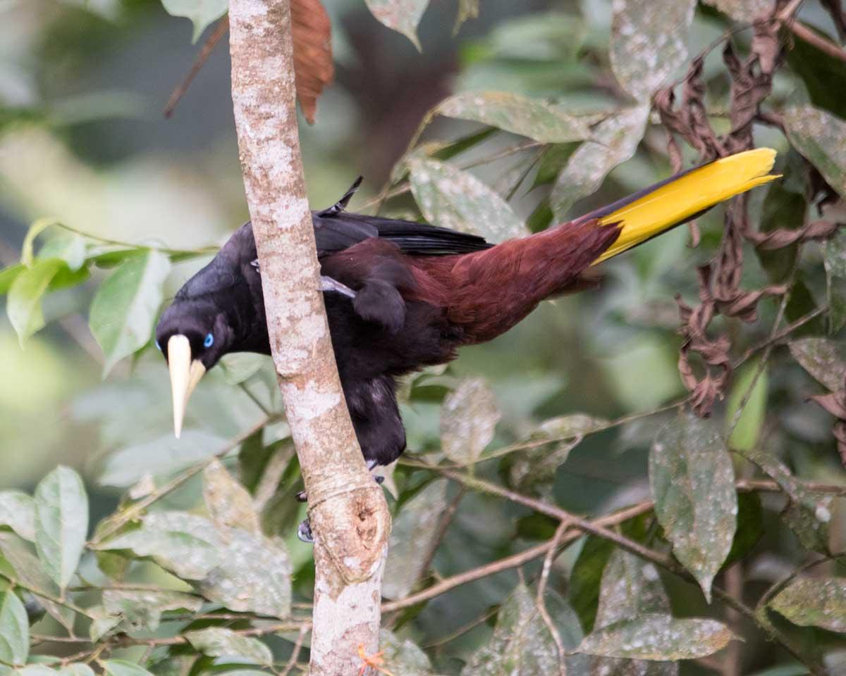 Crested Oropendula, Copalinga, Ecuador | ©Angela Drake