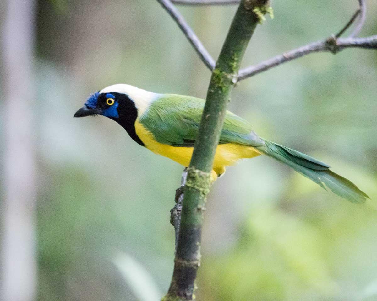Green Jay, Copalinga, Ecuador | @Angela Drake