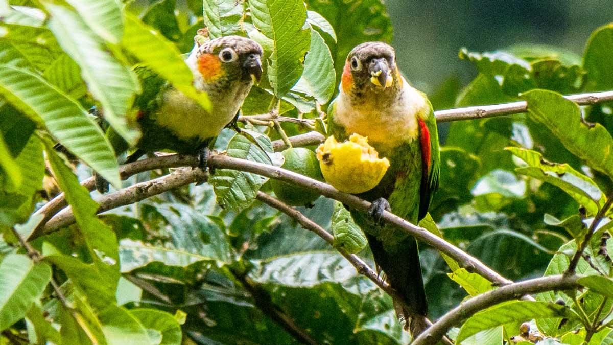 White-necked Parakeets, Copalinga, Ecuador | ©Ernest Scott Drake