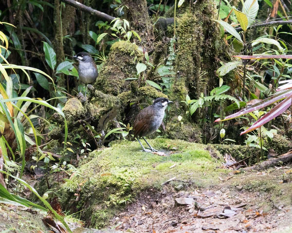 A Pair of Jocotoco Antpittas, Tapichalaca Reserve, Southern Ecuador   ©Angela Drake