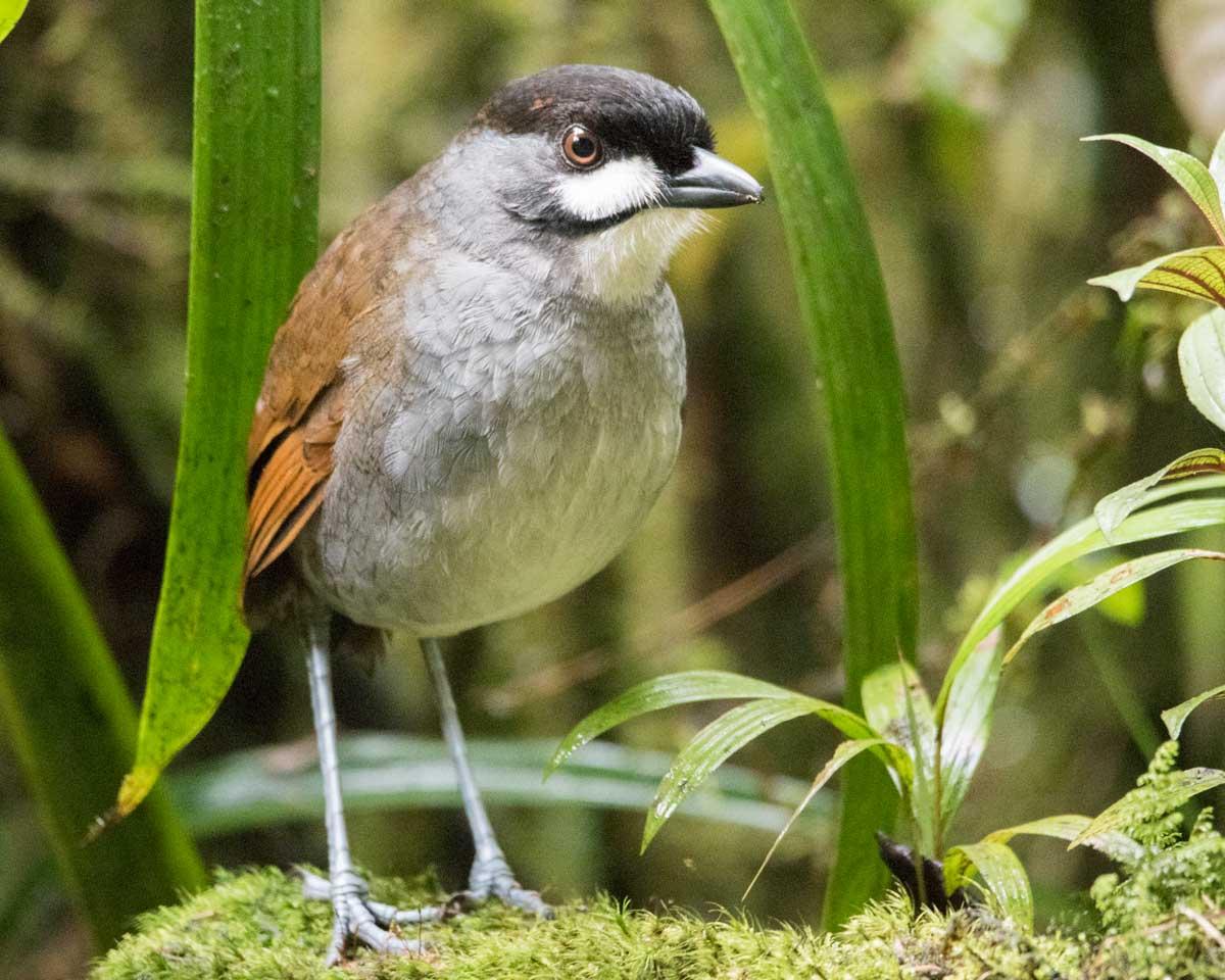 The Jocotoco Antpitta, Tapichalaca Reserve, Southern Ecuador   ©Angela Drake