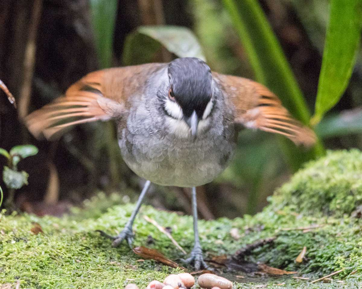 The Jocotoco Antpitta hungry for breakfast, Tapichalaca Reserve, Southern Ecuador   ©Angela Drake