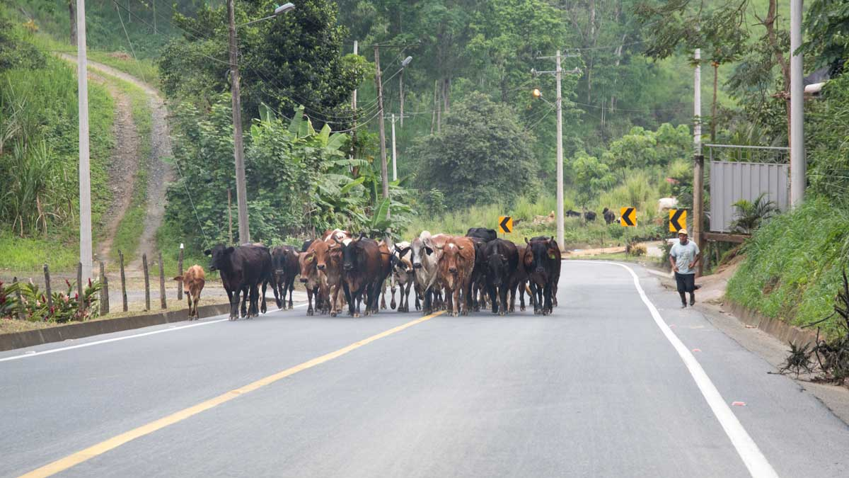 Hazards on the road in Southern Ecuador include herds of cows | ©Angela Drake