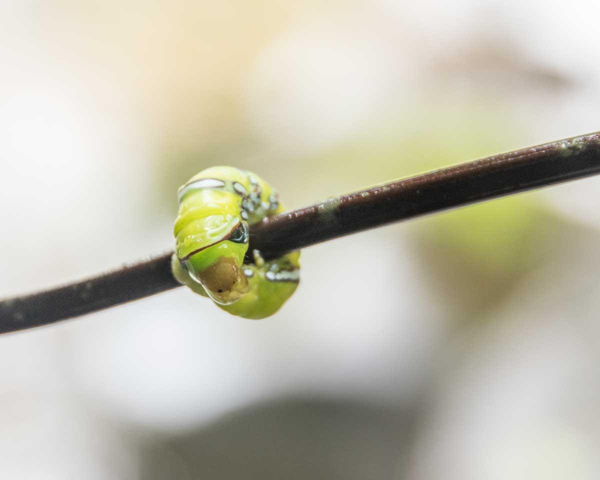 Caterpillar, Guizhaguiña, Ecuador   ©Angela Drake