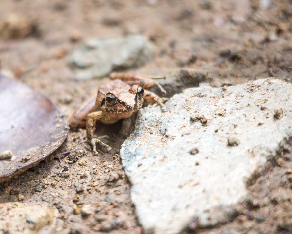 Zurucuchu Robber Frog, Guizhaguiña, Ecuador   ©Angela Drake
