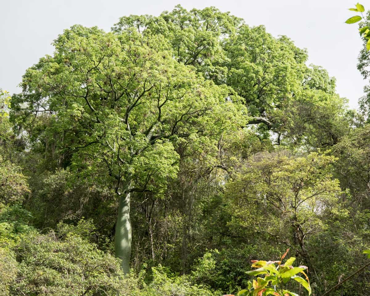 Ceiba Trees, Jorupe Reserve, Ecuador | ©Angela Drake