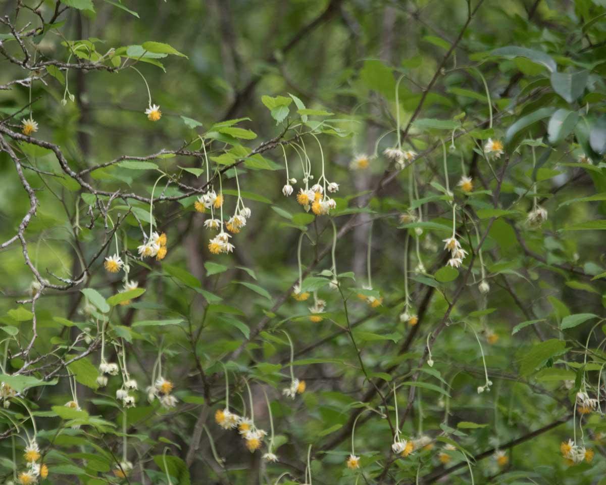 Flowers from the Jorupe Tree, Jorupe Reserve, Ecuador | ©Angela Drake