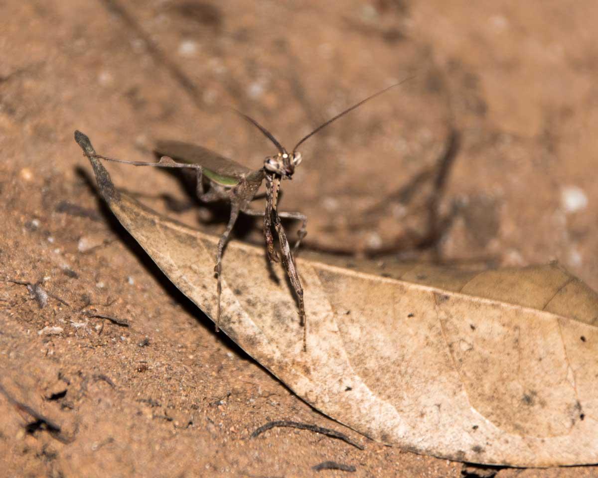 Praying Mantis, Jorupe Reserve, Ecuador | ©Angela Drake