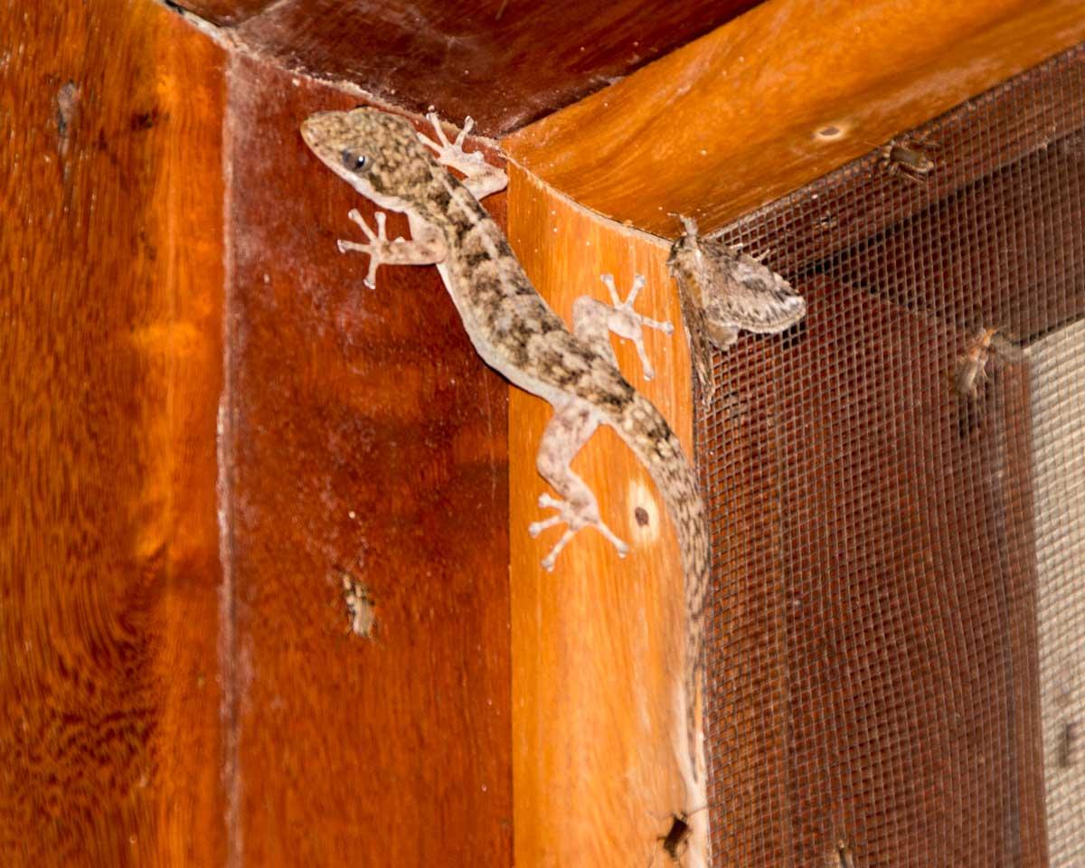 Gecko-like Lizard, Jorupe Reserve, Ecuador | ©Angela Drake