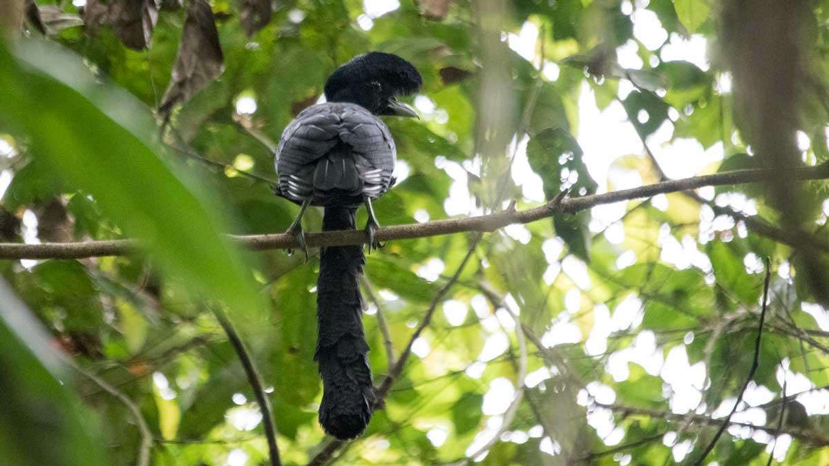The Long-wattled Umbrellabird, Buenaventura Reserve, Ecuador   ©Angela Drake