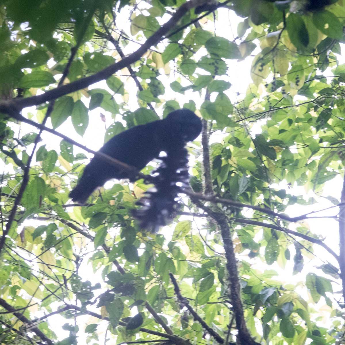 The Long-wattled Umbrellabird displaying in the lek; Buenaventura Reserve, Ecuador   ©Angela Drake