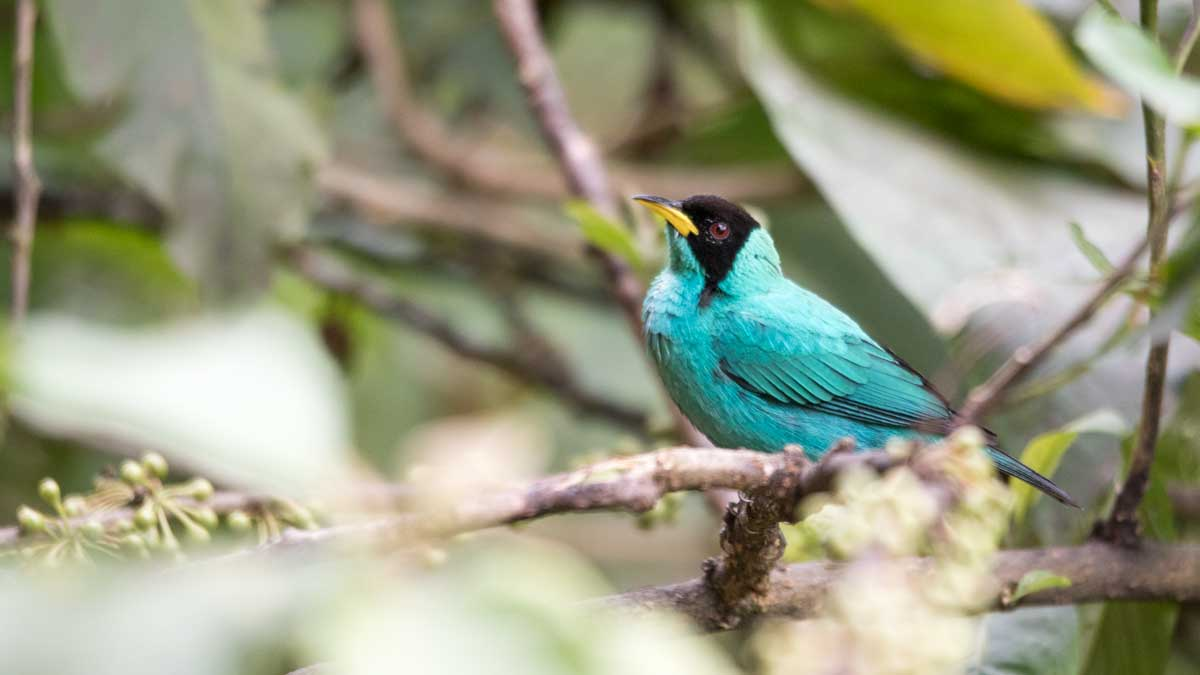 Green Honeycreeper, Umbellabird Lodge, Buenaventura, Ecuador   ©Angela Drake