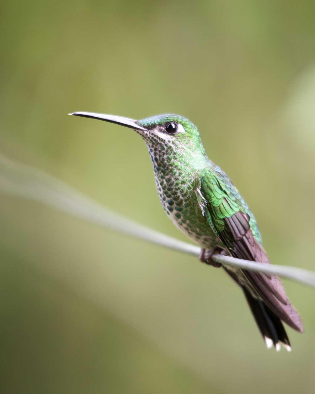 Green-Crowned Brilliant, Umbellabird Lodge, Buenaventura, Ecuador   ©Angela Drake