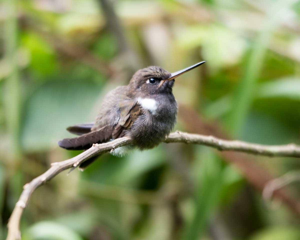 Brown Inca Hummingbird, Hummingbird Garden, Piñas, Ecuador | ©Angela Drake