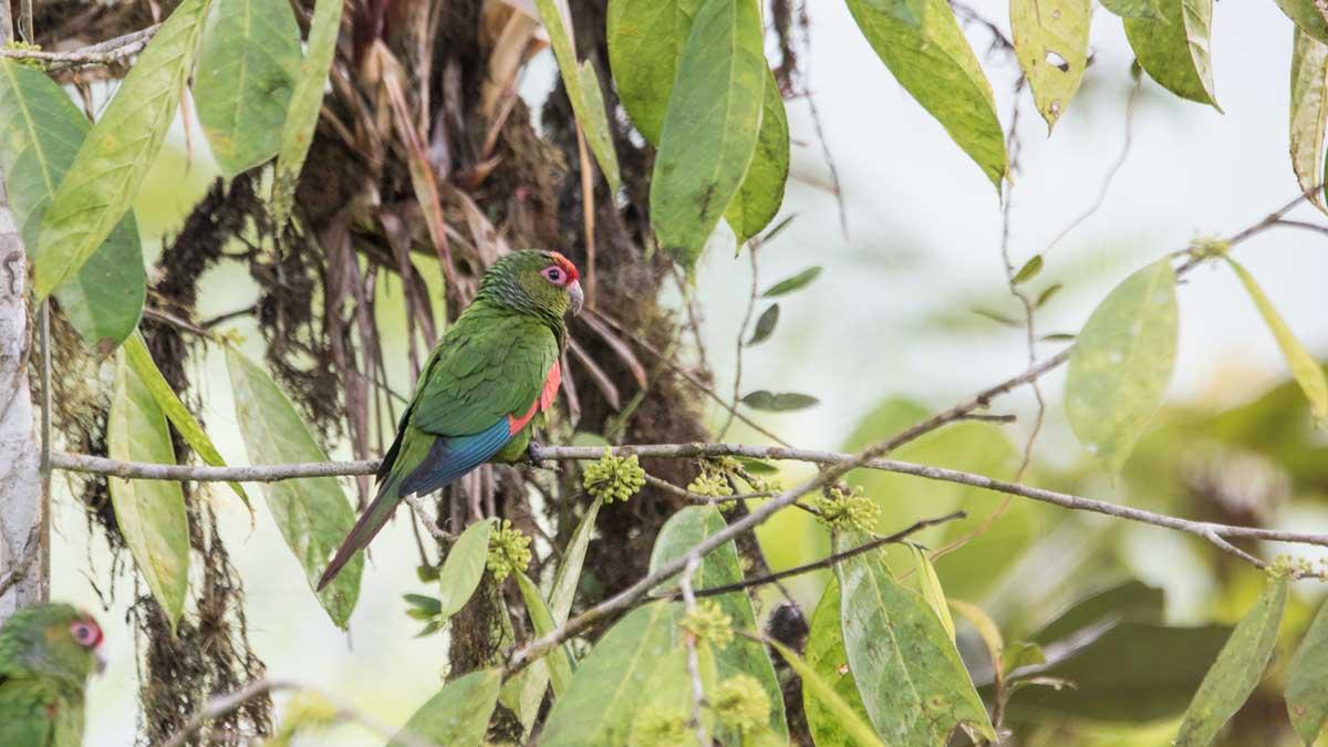 The El Oro Parakeet, Buenaventura Scientific Research Station, Piñas, Ecuador   ©Angela Drake