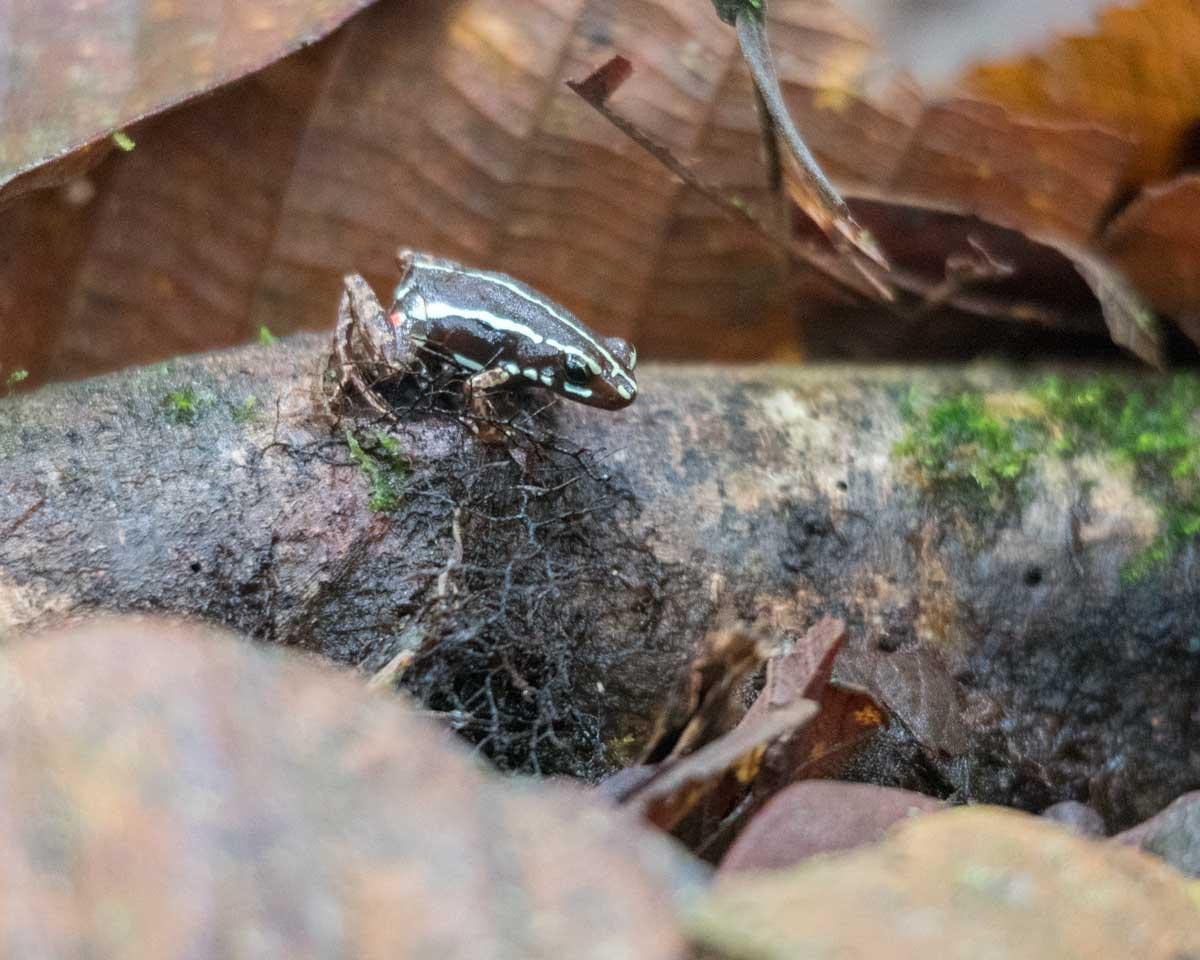Unidentified Frog, Scientific Research Station, Buenaventura Reserve, Ecuador   ©Angela Drake