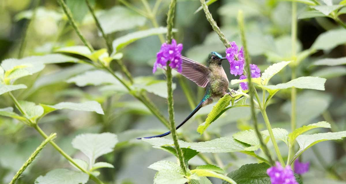 Easy-To-See Hummingbirds in Southern Ecuador!