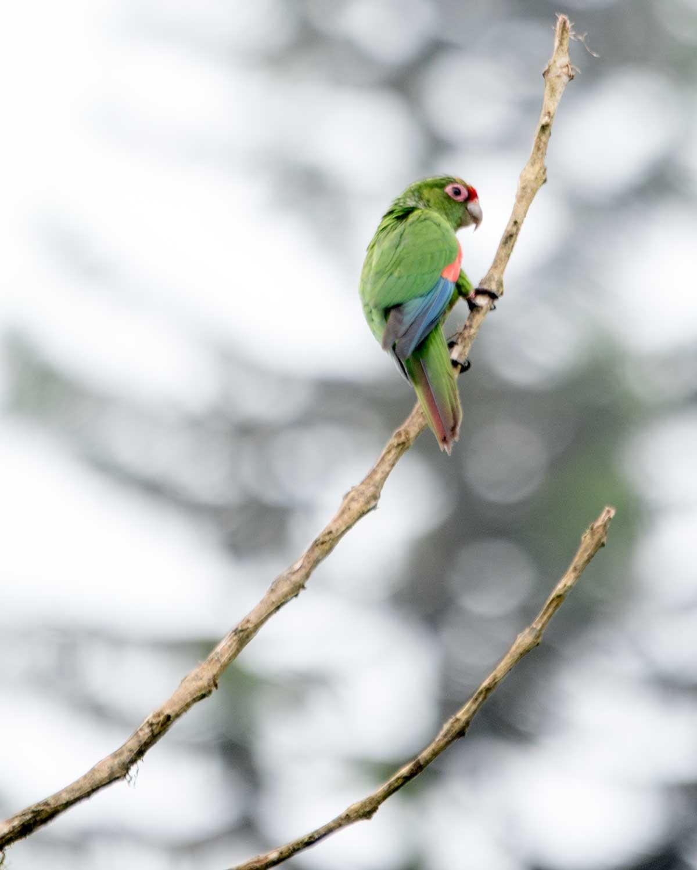 El Oro Parakeet, Buenaventura Hacienda, Ecuador   ©Angela Drake