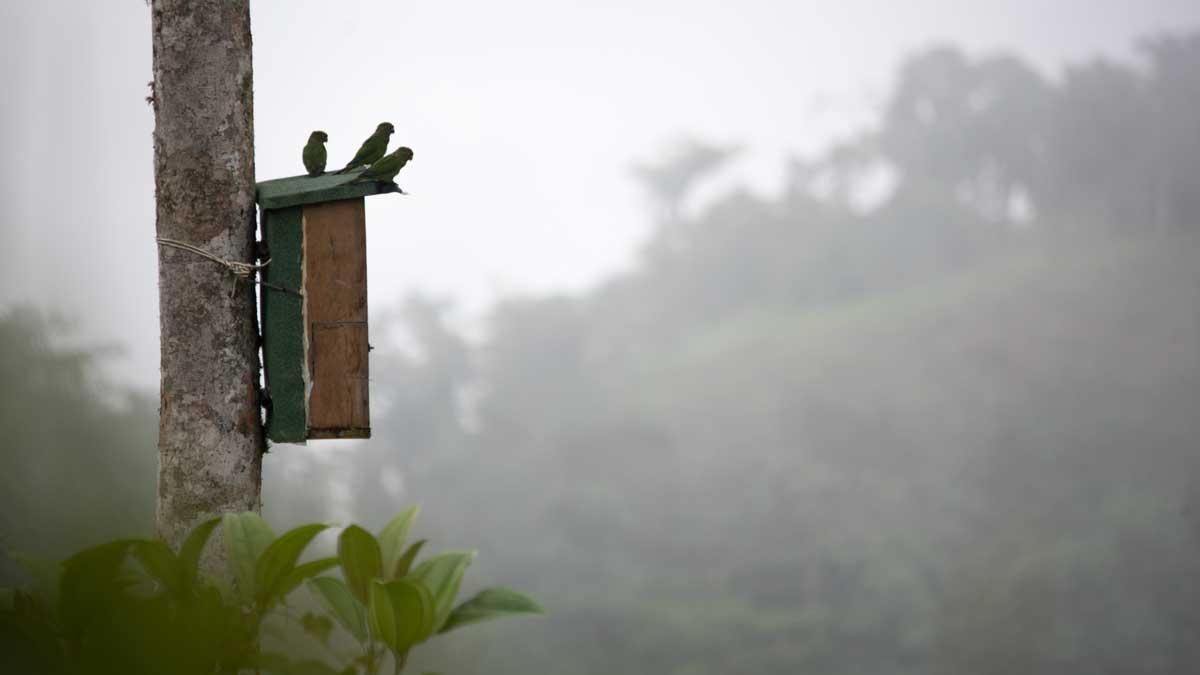 El Oro Parakeets on the box, Buenaventura Hacienda, Ecuador   ©Angela Drake