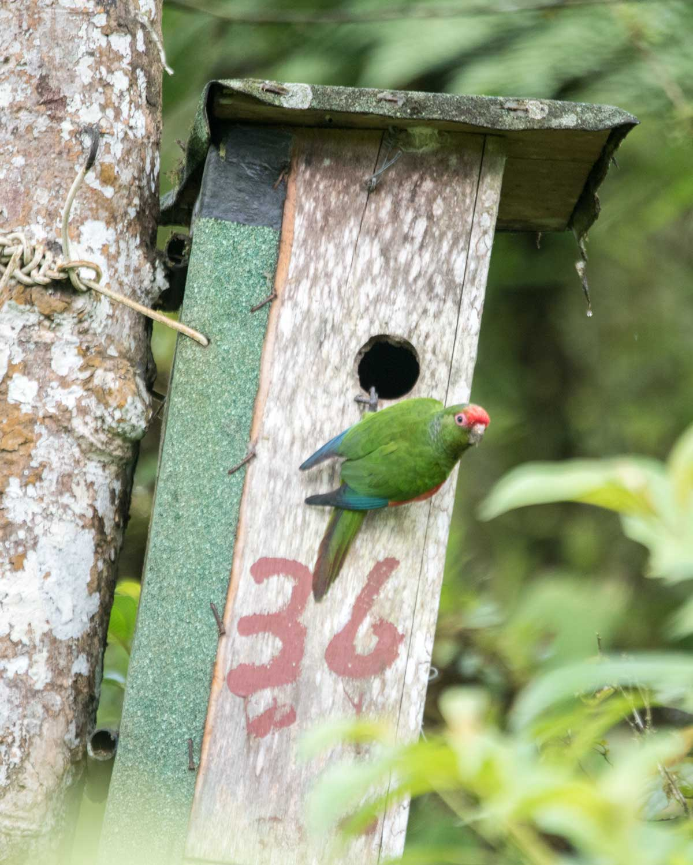 El Oro Parakeet on the nesting box, Buenaventura Research Station, Ecuador   ©Angela Drake