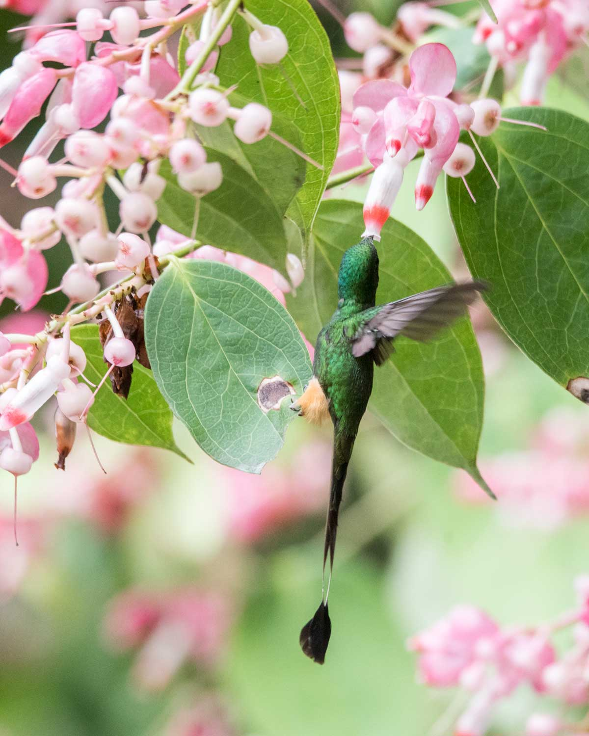 East Slope variation of the Booted Racket-tail. Check out his buff-colored cotton ball legs; Rio Verde, Ecuador | ©Angela Drake