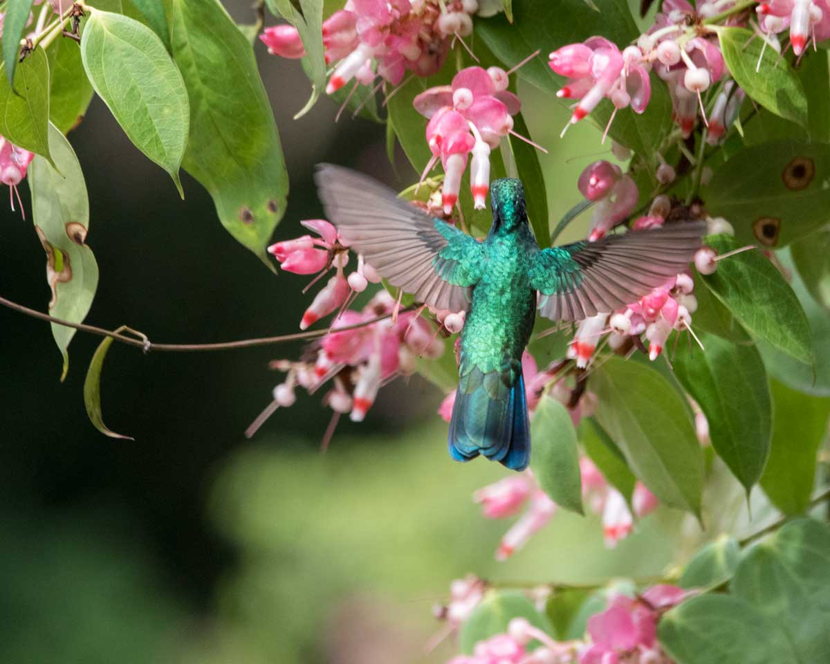 Sparkling Violetear Hummingbird, Rio Verde, Ecuador | ©Angela Drake