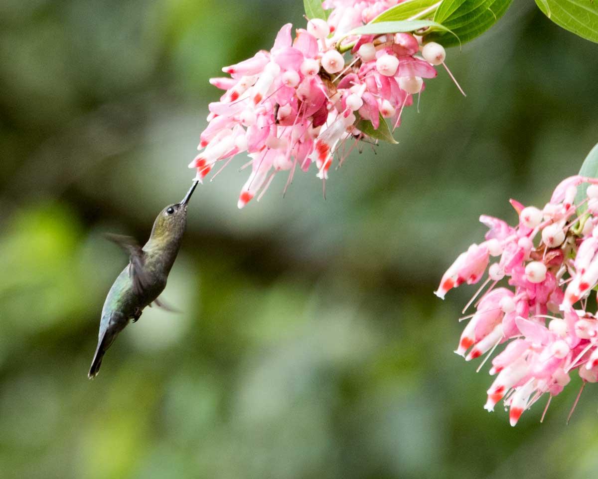 Green-fronted Lancebill, Rio Verde, Ecuador | ©Angela Drake